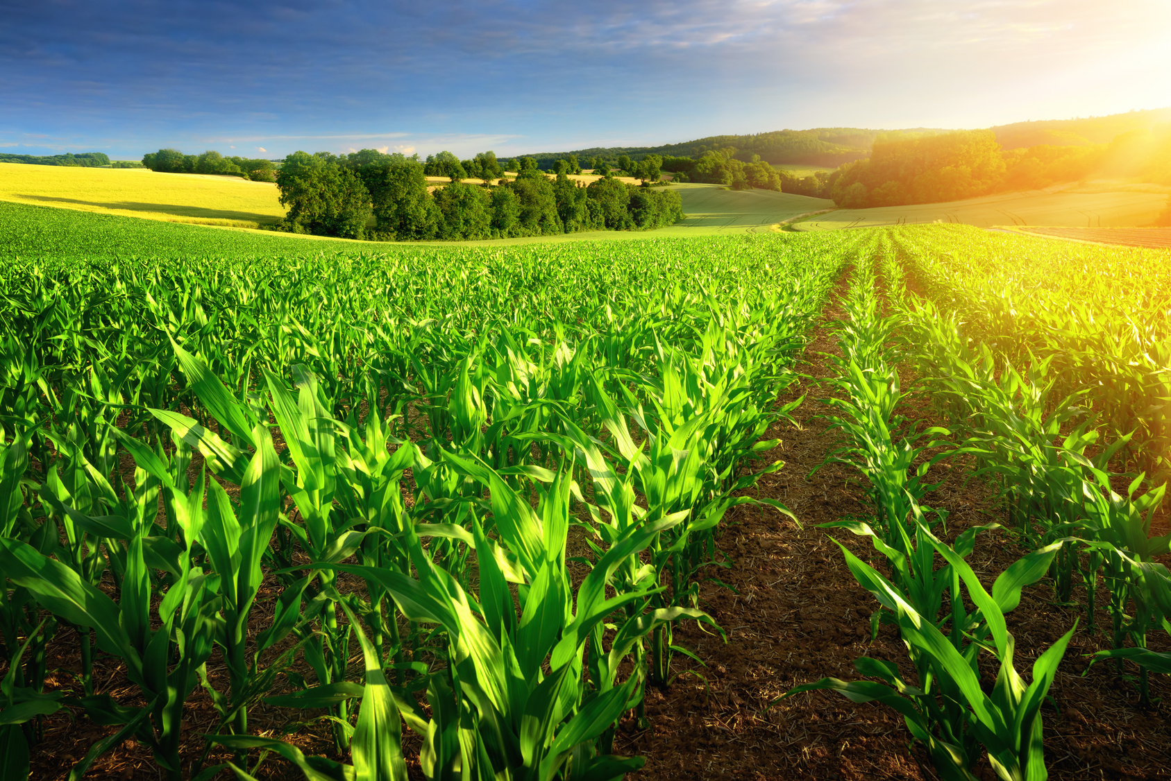 corn plants in rows in a field surrounded by landscape in rising sun