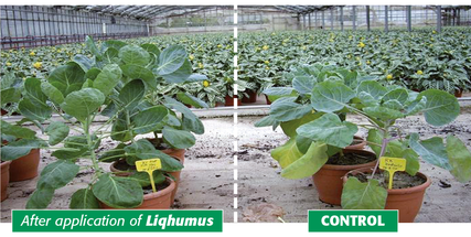 positive effects of HUMINTECH liqhumus application on plants