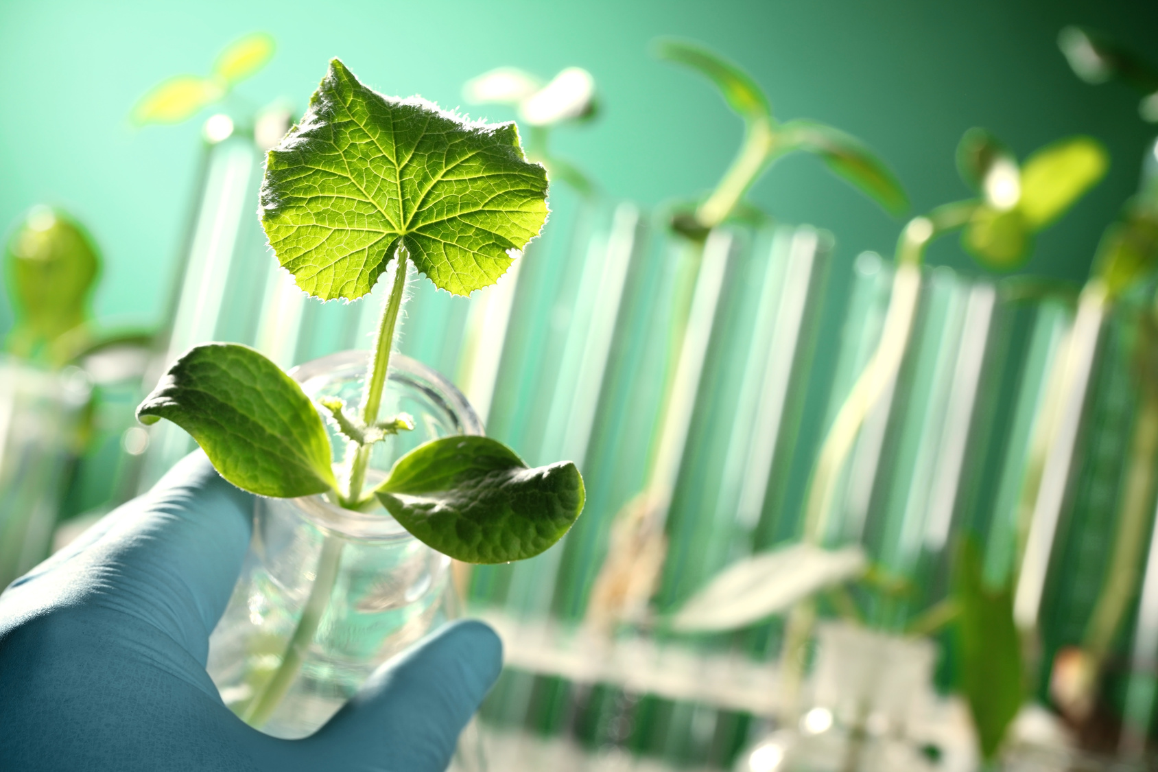 symbolic image of plants in hydroponic cultivation