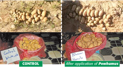 Potatoes after application of POWHUMUS