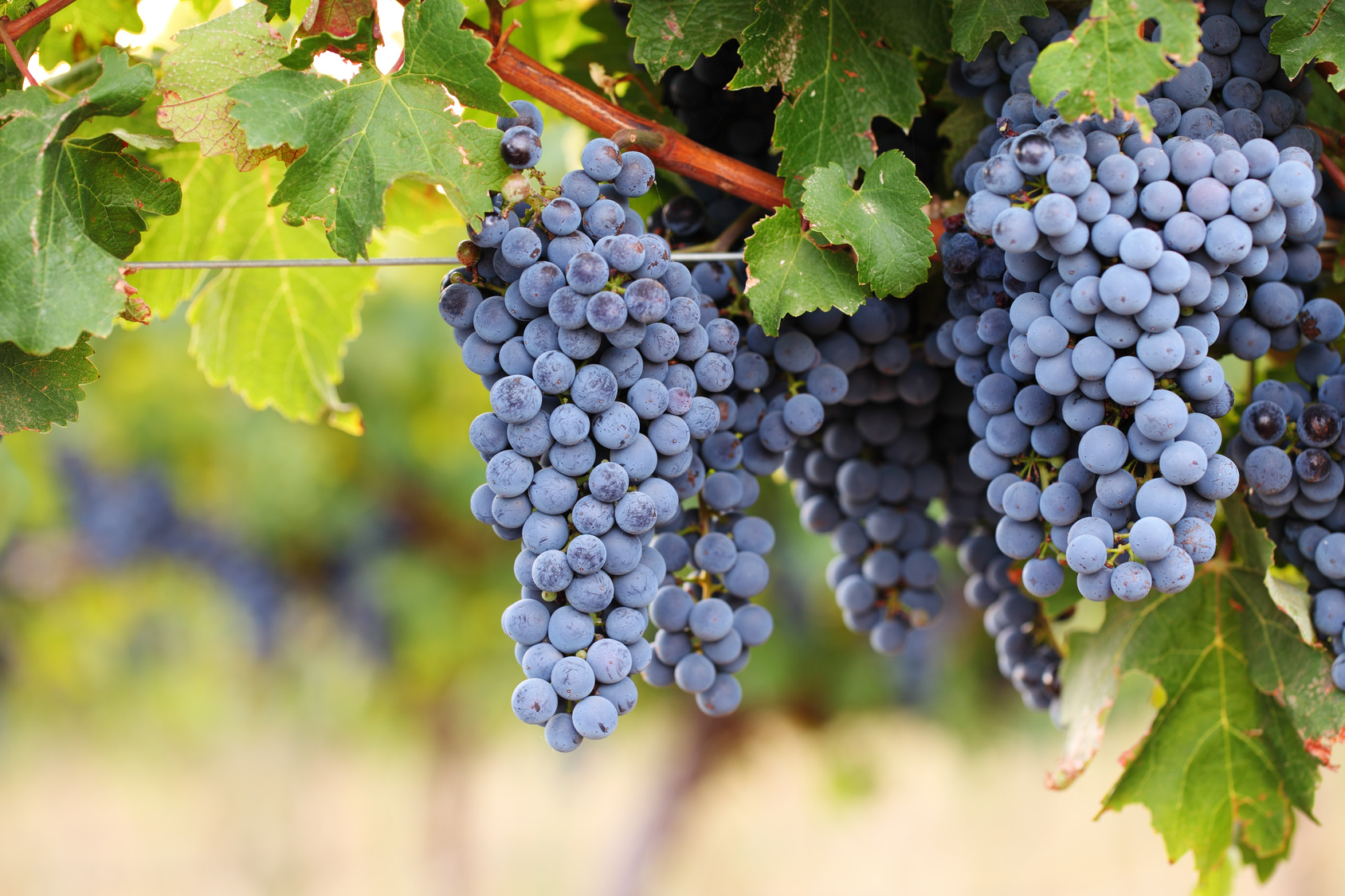 symbolic image of grapes