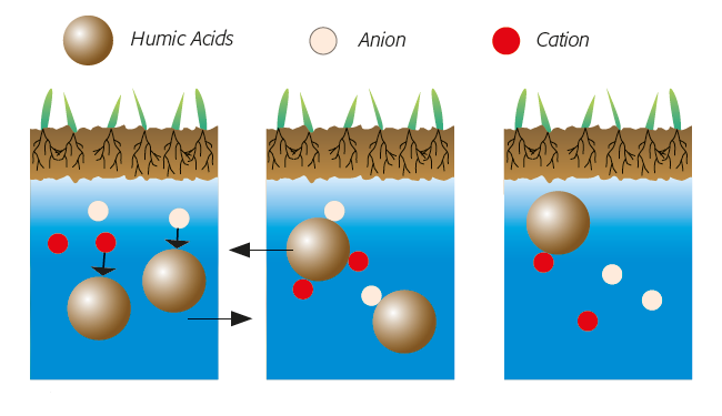 depiction of how Humic acids reduce the effects of salinity